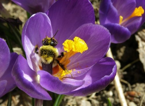 Crocus & Bumblebee, March 13, 2013