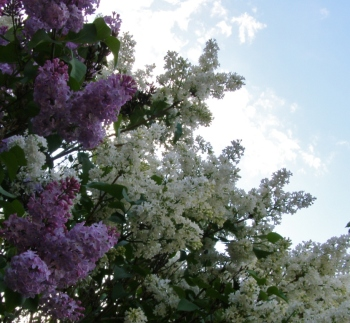 Lilacs, evening, Hill Farm May 16, 2013