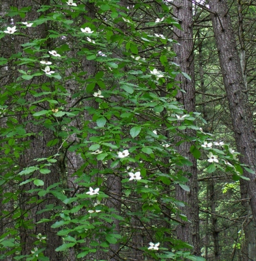 Pacific Dogwood in fir forest, near Alexandra Bridge, Fraser Canyon. May 29, 2013.