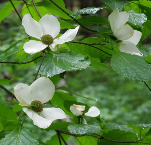 B.C.'s provincial flower, Pacific Dogwood, Cornus nuttallii.