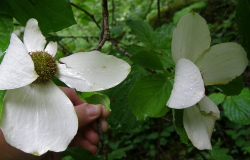 These dogwood flowers are big, as you can see by my hand holding the branch.