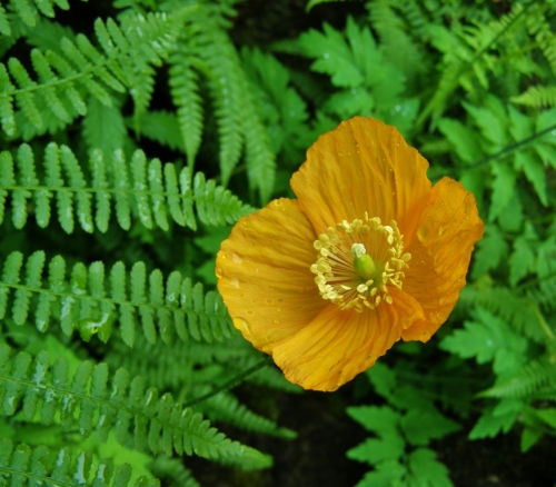 Welsh Poppy, Minter Gardens