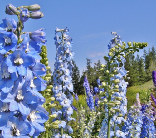 Delphiniums in the nursery garden, Hill Farm, July 7, 2013