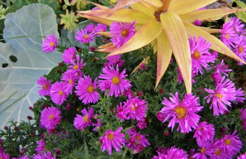 In the nursery beds: Michaelmas daisies, lily and sea kale foliage for contrast. Hill Farm October 13, 2013.