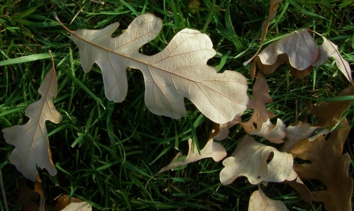 Bur Oak leaves.