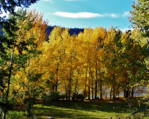 Cottonwood trees beside the Fraser River - our daily view from the edge of the garden.