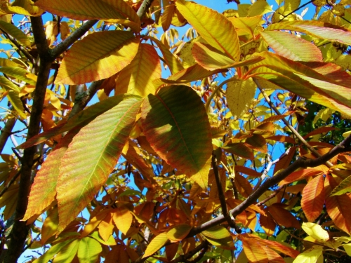 The horse chestnut can't decide which colour it wants to be, so it's trying a bit of everything.