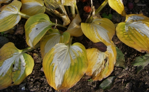 Hosta leaves touched by frost - snapped a picture just before my daughter ruthlessly chopped them down - she's in full garden clean-up mode these days!