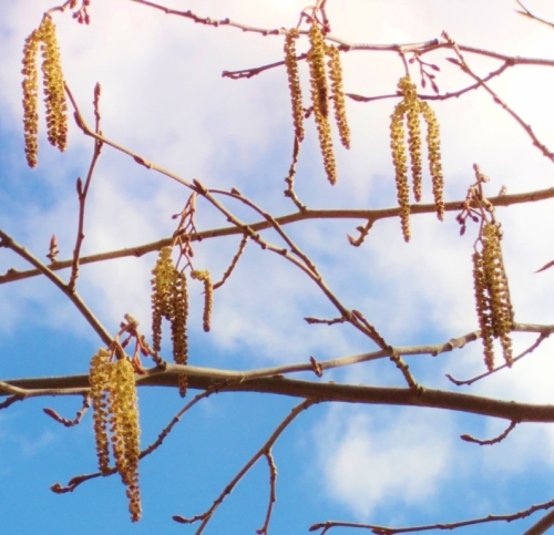 Poplar catkins, Hill Farm, some other spring.