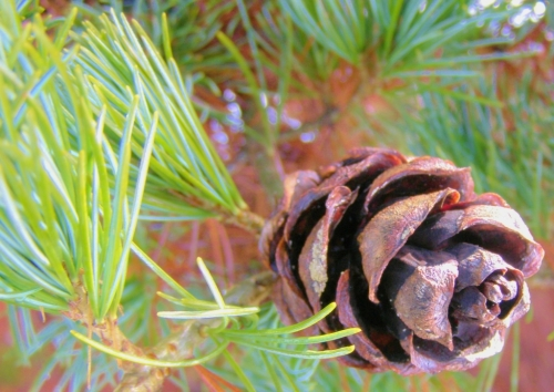 Pine cone, exact species unknown. UBC Botanical Garden, February 26, 2014.