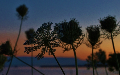 Queen Anne's Lace - end of summer - two years ago at White Rock, B.C.
