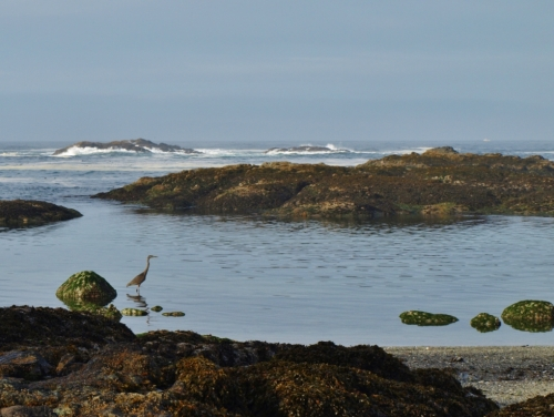 Blue heron, low tide.