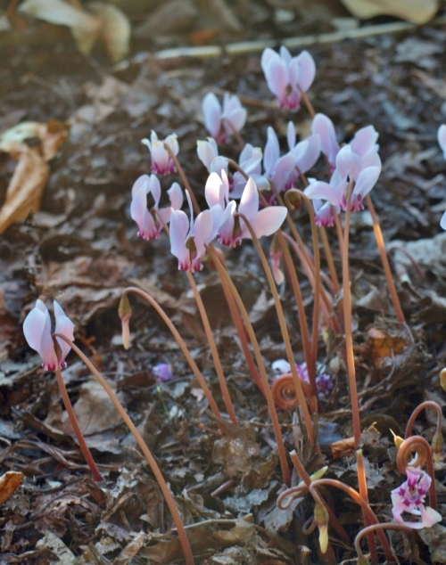 City botanizing: fall-blooming cyclamen in a quiet corner of Victoria's Beacon Hill Park.
