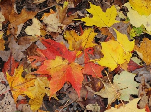 Sugar Maple leaves, Vancouver, B.C. October 2014.