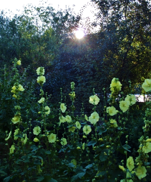 Russian yellow hollyhocks, rising sun. Early August in my garden.