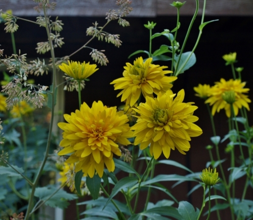 The doomed rudbeckia and plume poppy in the under-the-eaves flowerbed just before the ladders moved in.