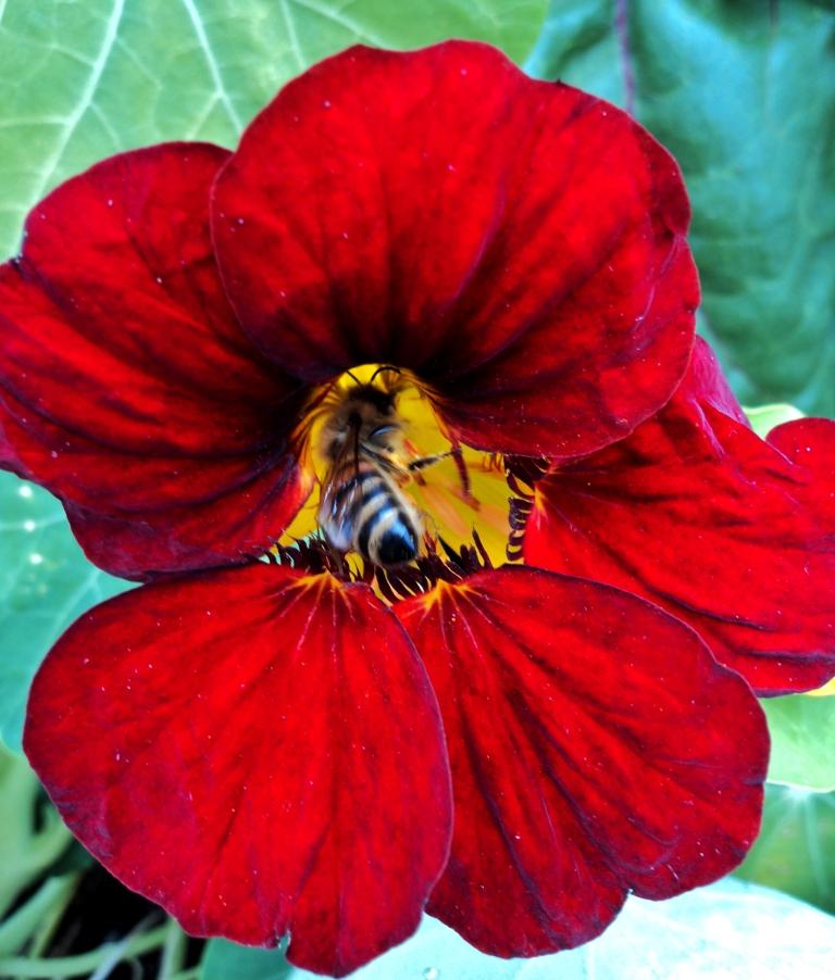 nasturtium, and bee september 2015 hill farm