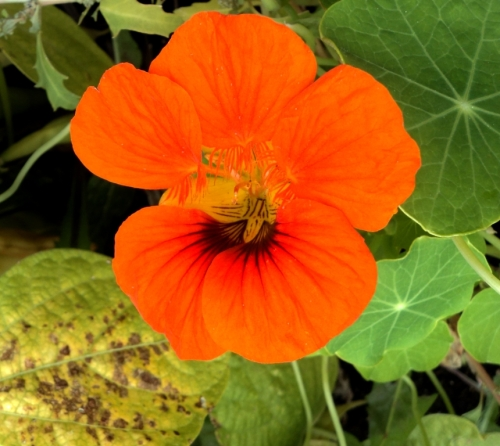 nasturtium september 2015 hill farm