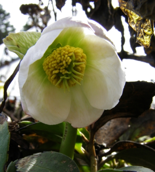 The first Hellebore of the season - here in central British Columbia the Christmas Roses bloom in March and April!