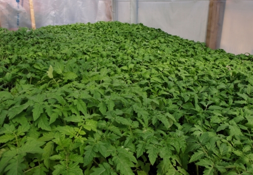 Tomorrow's nursery chore. Here you see approximately 500 tomato seedlings, begging to be put into larger pots NOW. We are having a tremendously early spring, and the plants are going wild - I can't keep up!