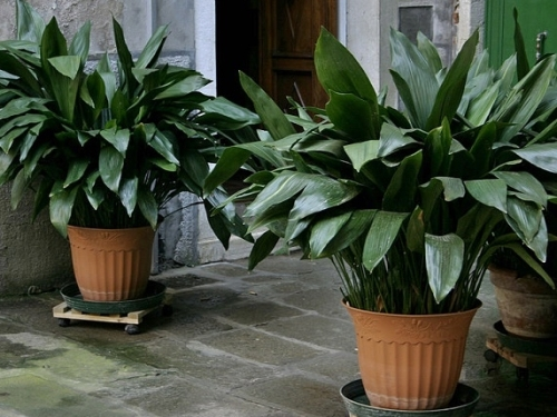 Oh, yes. Here's a little bonus for those of you who, like me, were a bit hazy on what the heck an aspidistra actually looks like. I suspect they are still very much around, but I couldn't pull up a mental picture to go with the name. Now I can.